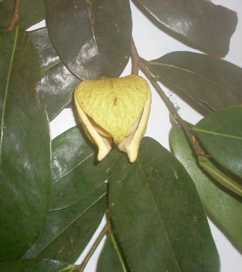 buah sirsak cara membuat manfaat daun sirsak dan buah sirsak untuk ...